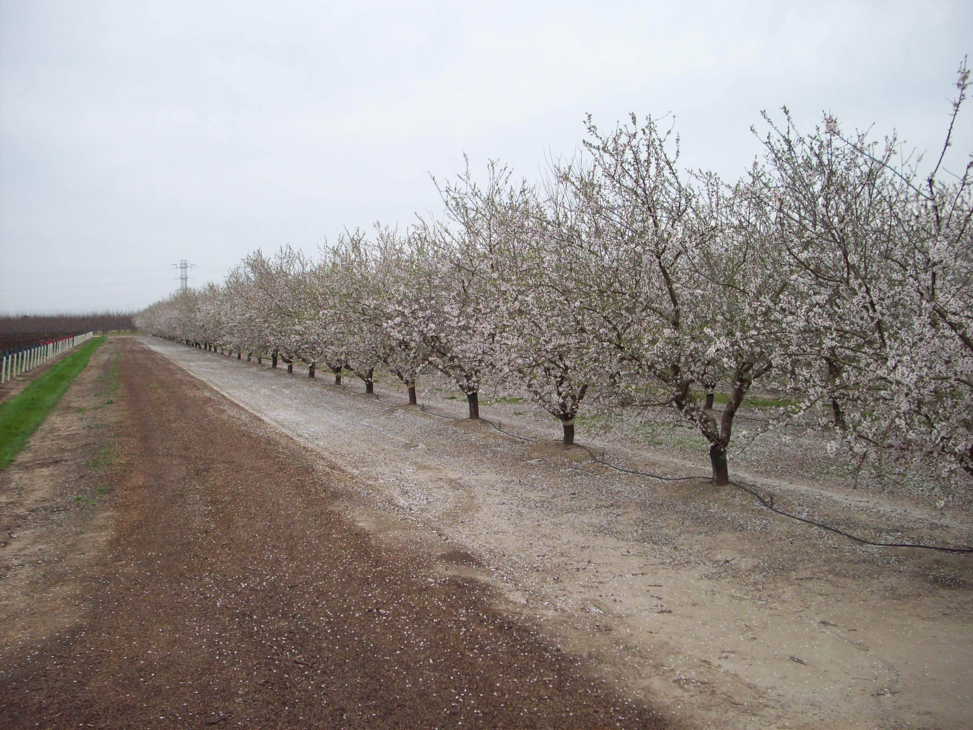 fall 2008 almond tree